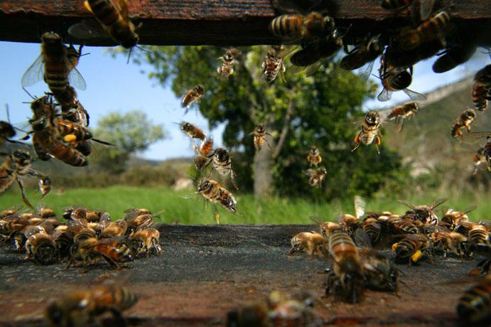 алтайский мёд и пчелы
